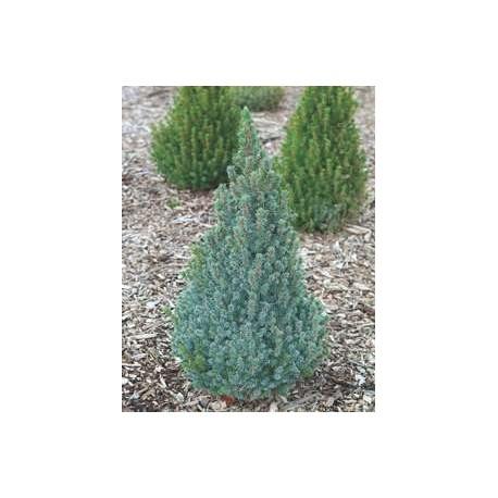 Джуджевиден син  смърч (Picea c.glauka-Sanders Blu)