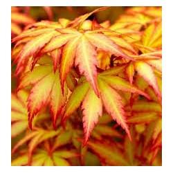 Японски златист  клен (Acer palmatum  Orange Dream)