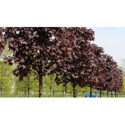 Явор червенолисте(Acer platnoides  Royal Red)