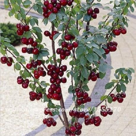 Череша джудже- нискостеблена череша( Prunus avium)