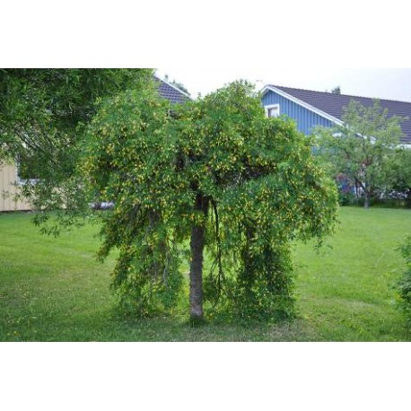 Карагана/Жълта акациая / плашеща корона(Karagana arboricens pendula)