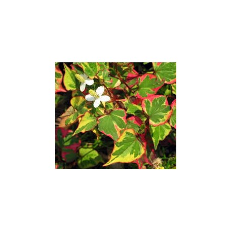 Многоцветна хотуния(Houttuynia cordata -chameleon )