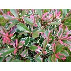 Фотиния розова ,пъстролистна(Photinia  пинк веариегата