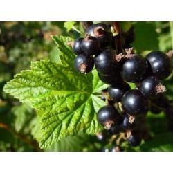 Касис чеren (Ribes nigra))