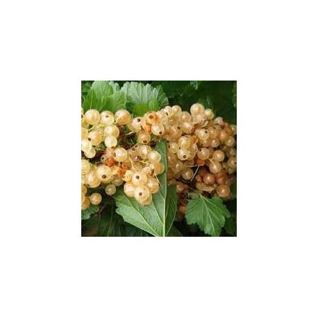 Касис бял_( Ribes rubrum Whte peri)