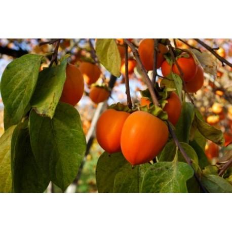 Райска ябълка(Diospirus kaki)